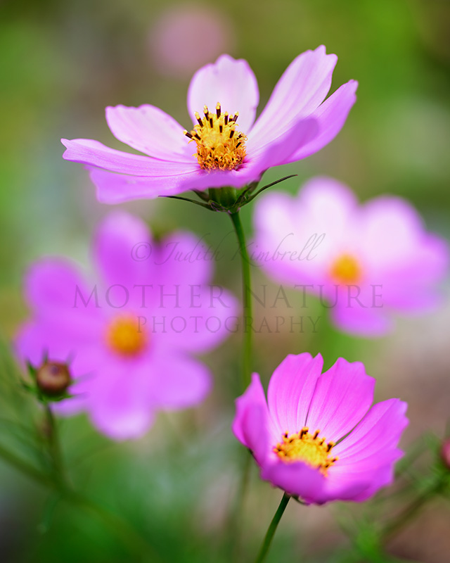 Pink Cosmos Flower Detail