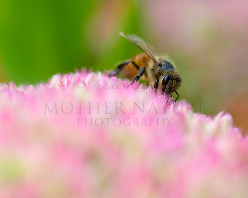 $25.00      (No reviews yet)  Write a Review SKU: SND810.CO.CS.Flower.SedumStonecrop.2629 Weight: 1.00 LBS Shipping: Free Shipping Honey Bee on a Pink Sedum Stonecrop Flower in a Garden 2629